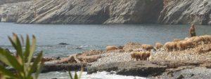 moutons-mer-crete